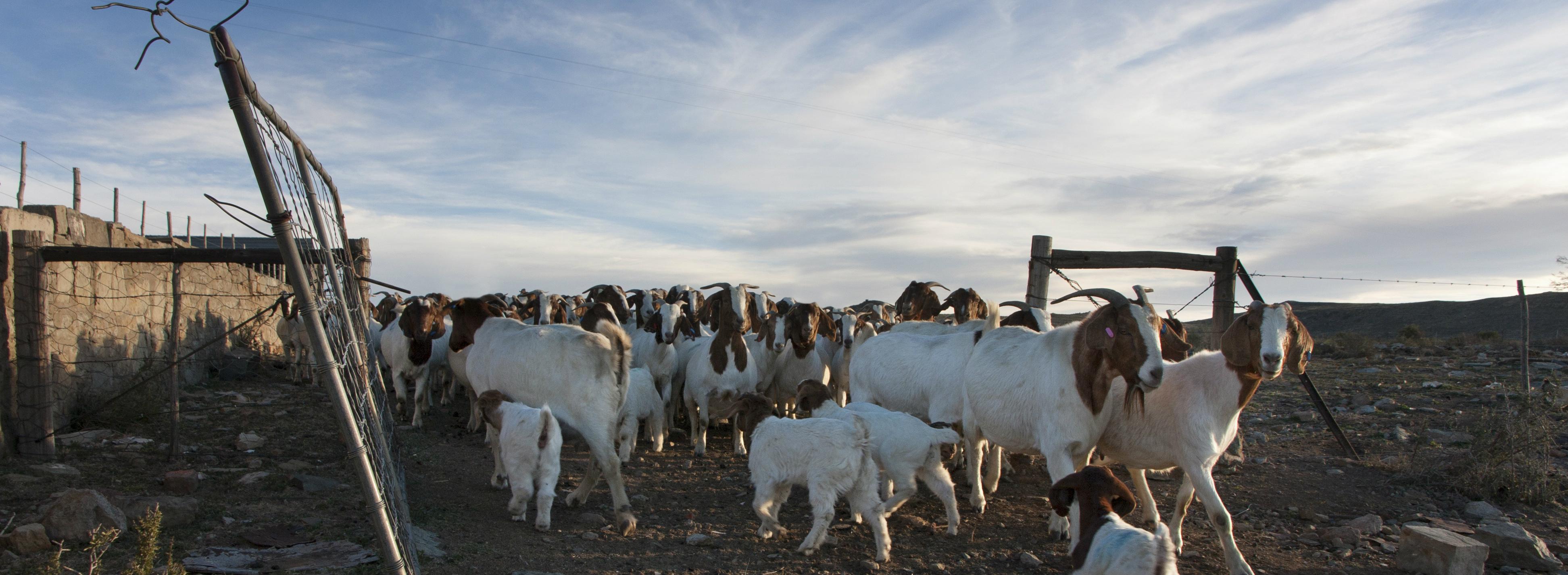 Goats on a farm long