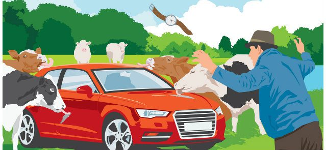Cows find car udderly delicious